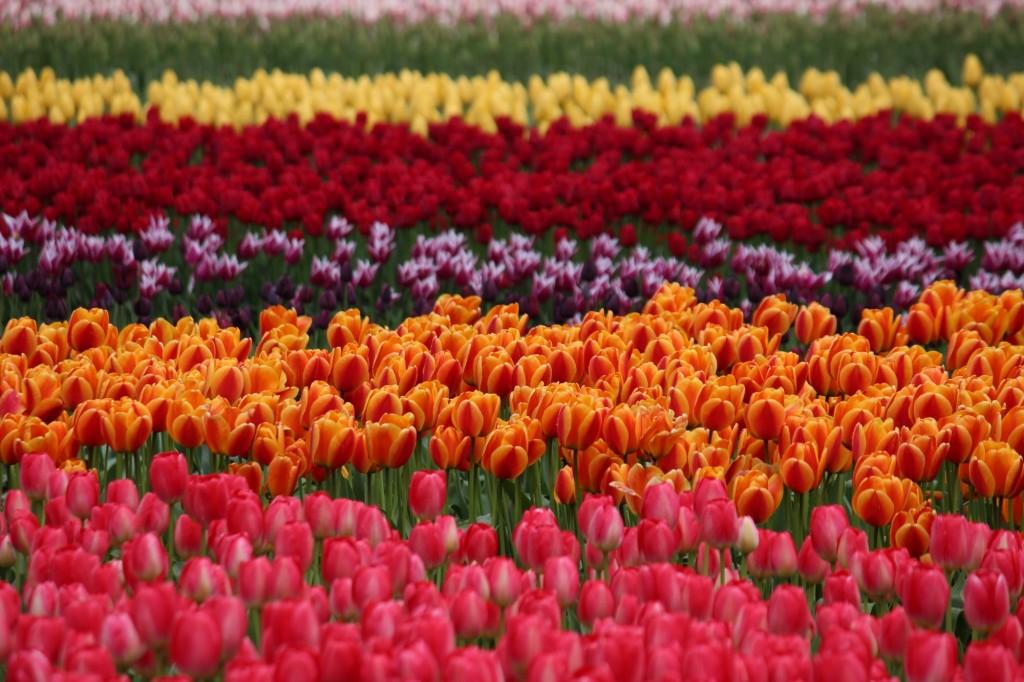 Tulip Festival Skagit Valley - 12