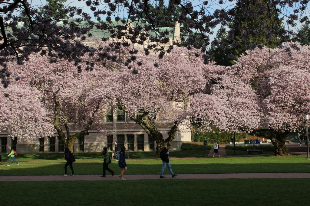 UW Campus Cherry Blossoms - 04